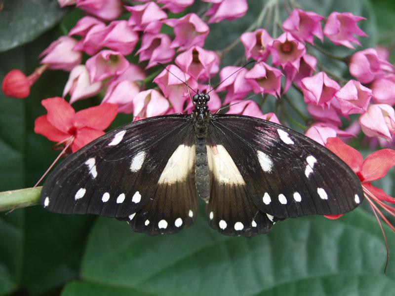 Sưu tập Bộ cánh vẩy 2 - Page 63 Papilio_echerioides_I_