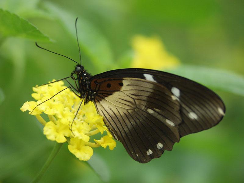 Sưu tập Bộ cánh vẩy 2 - Page 63 Papilio_echerioides_O_